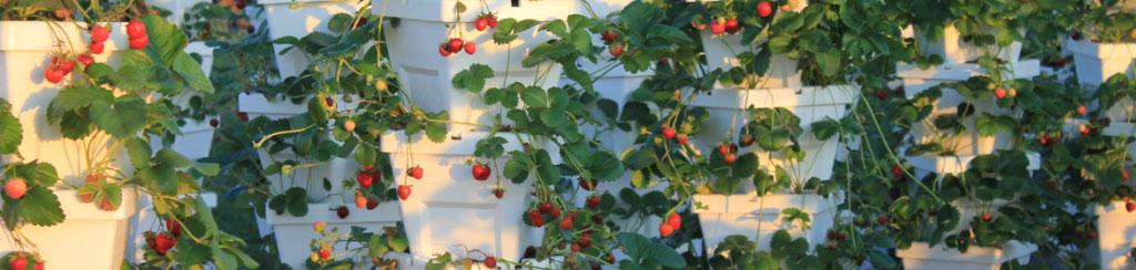 Loudounberry_Farm_Stawberries