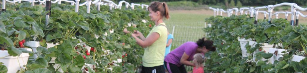 Loudounberry_Farm_Upick_Stawberries