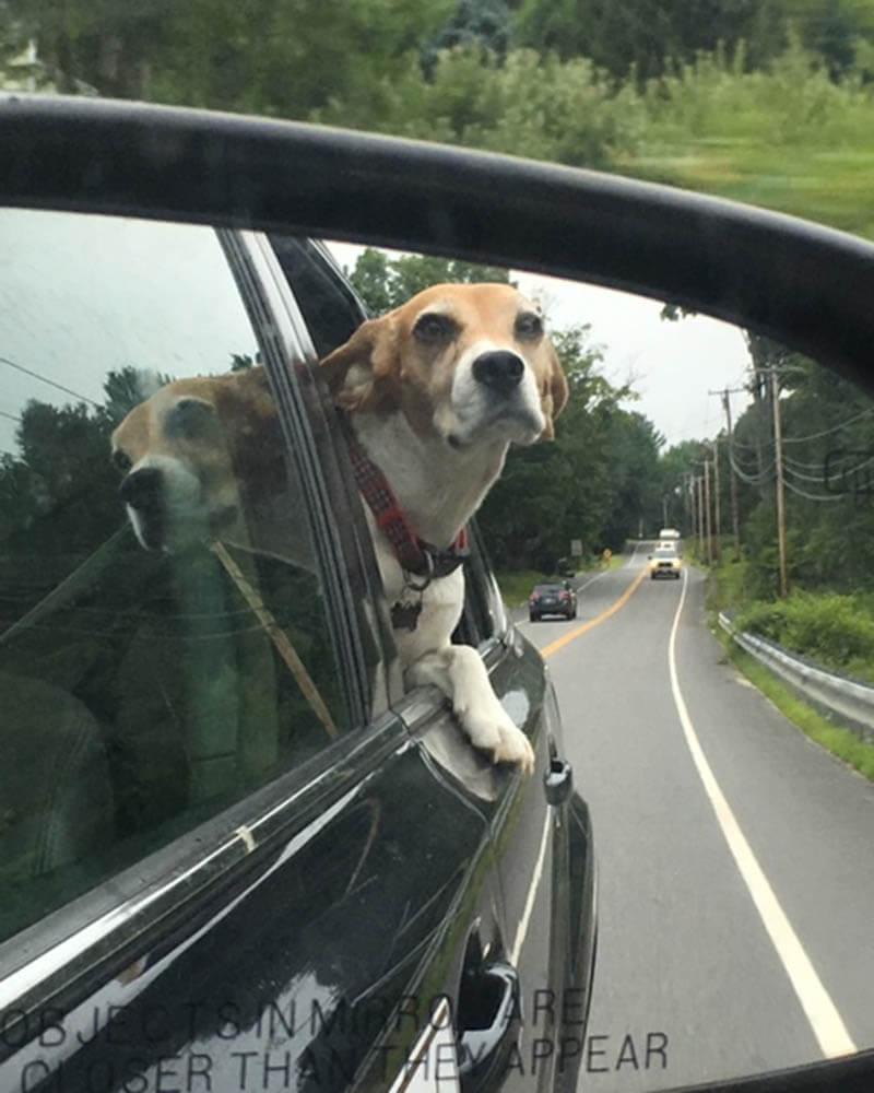 Dog, Coco, leaning out the window