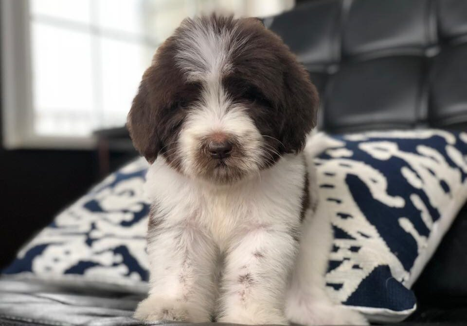 newfypoo for available puppies page