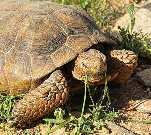 Arizona desert tortoise