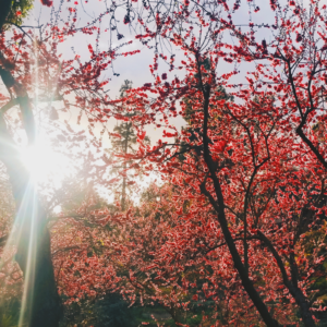 Sun coming through a tree with pink blooms