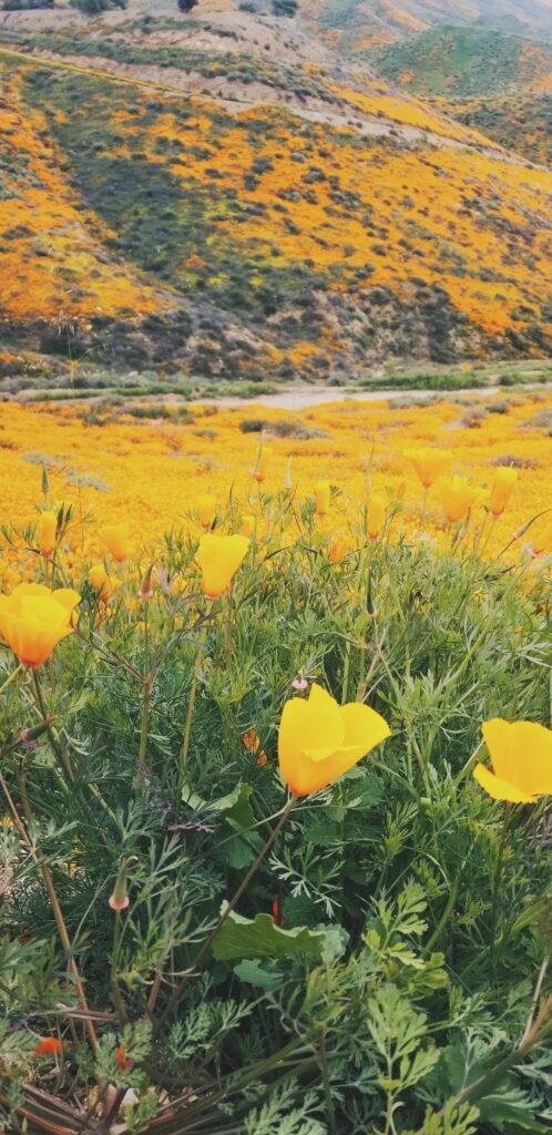 Field of yellow poppy flowers