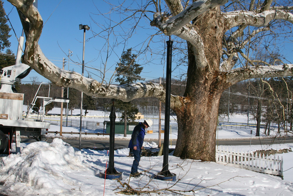 Artemus Ward Sycamore Tree Bracing and Cabeling