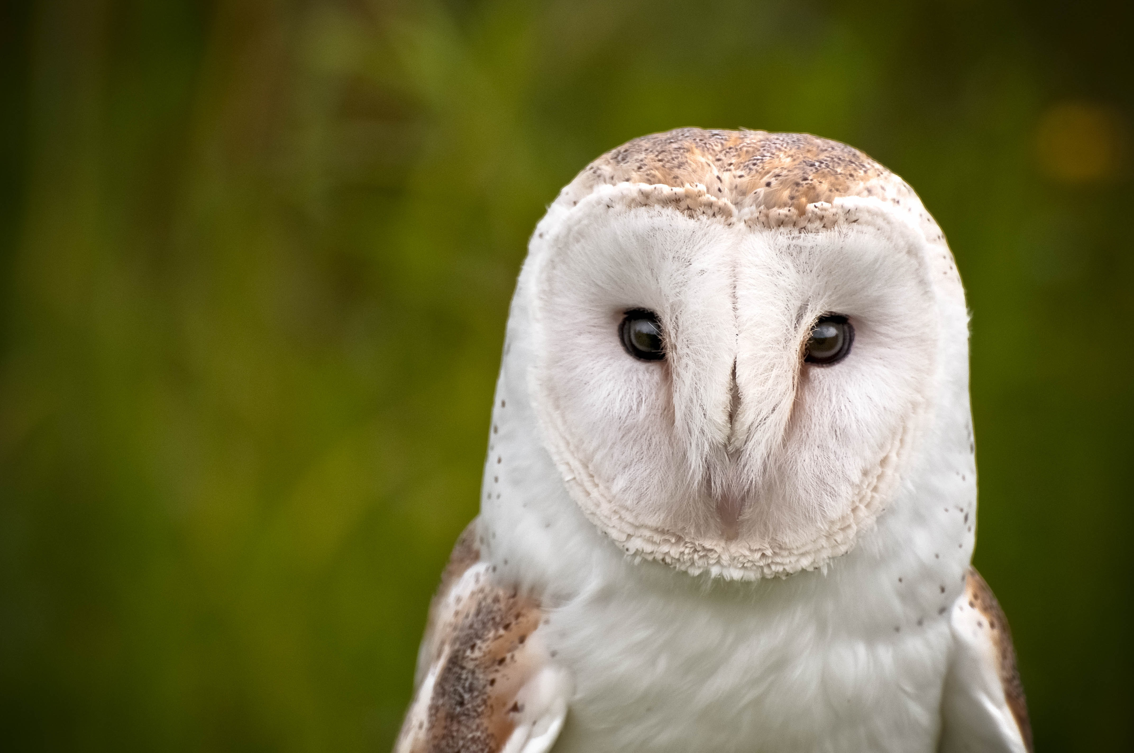 Barn owls can be found at Dunchideock barton along with many other forms of wildlife