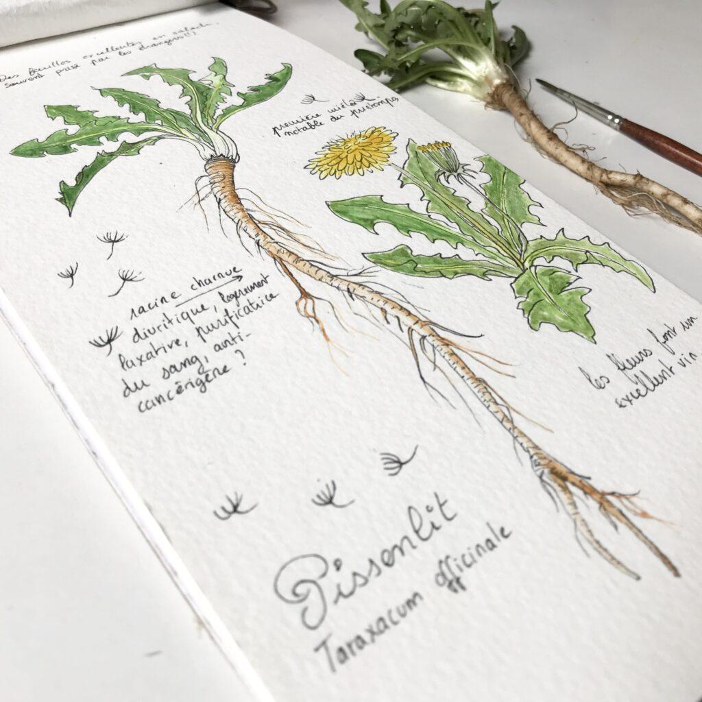 Illustration botanique de pissenlit par mélika illustration