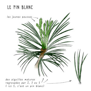 Illustration pousse de pin blanc par MelikaIllustration