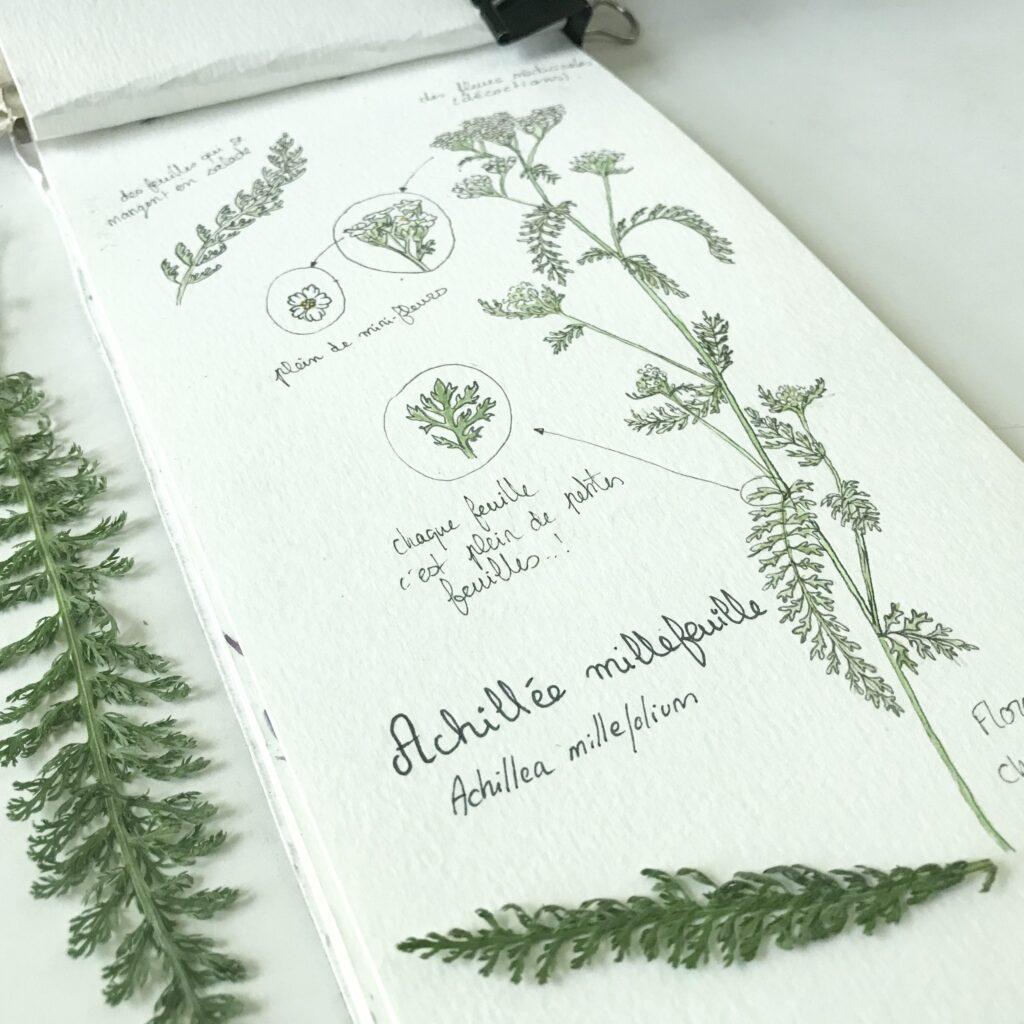 Illustration botanique : achillée millefeuille par melika illustration