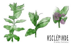 Illustration de la plante d'asclepiade, l'ouverture de la fleur