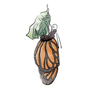 Illustration de la sortie de cocon du papillon monarque