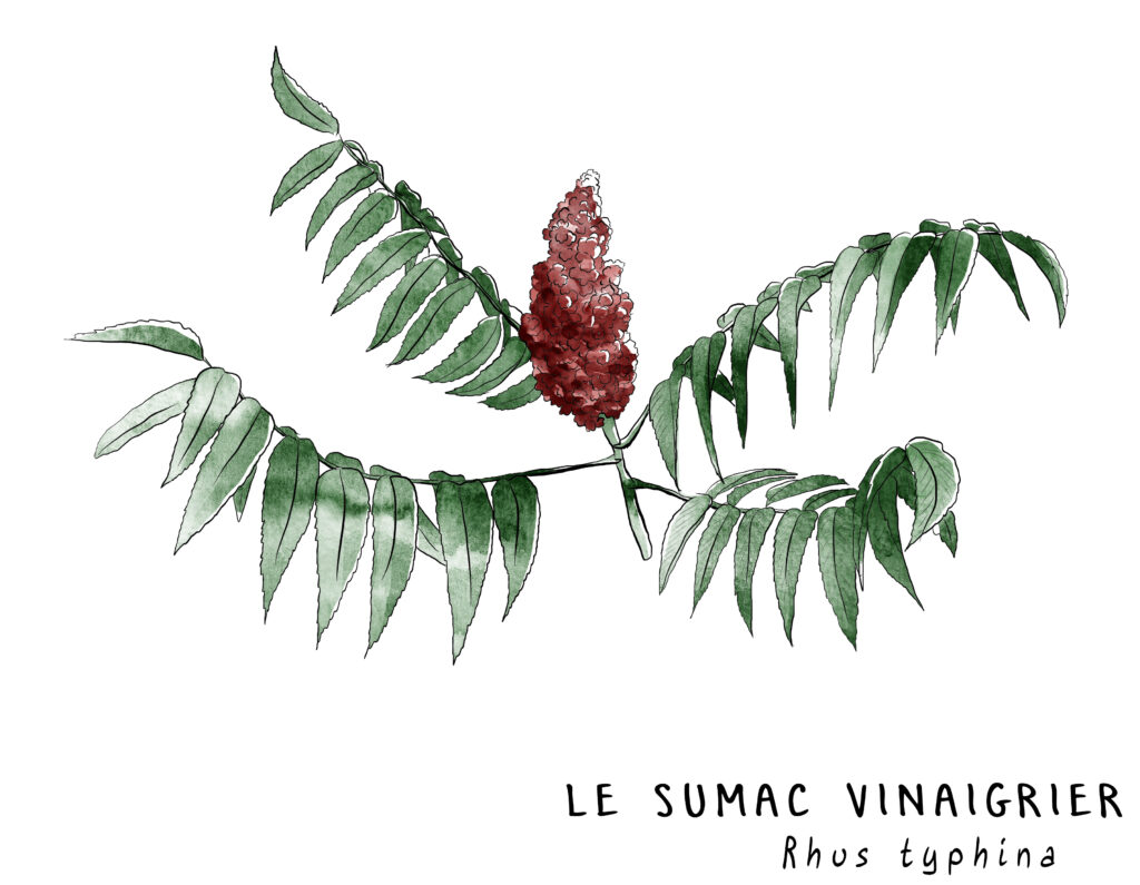 Illustration représentant le fruit du sumac vinaigrier