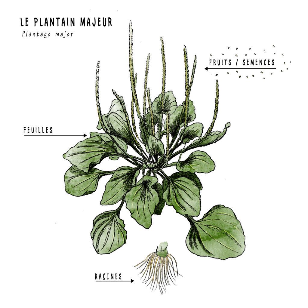 Illustration d'un plant de plantain