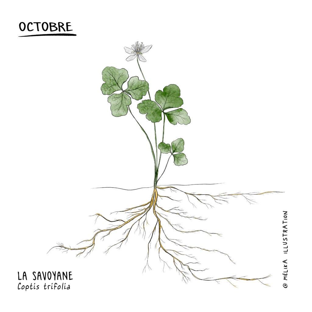 Illustration d'un plant de savoyane Par MelikaIllustration