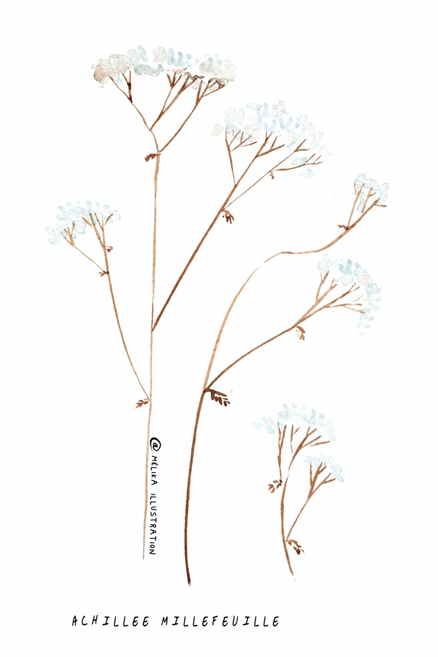 Illustration d'achillée millefeuille réalisé à l'aquarelle