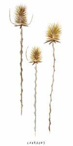 Illustration de cardère (espèce  de chardon) à l'aquarelle