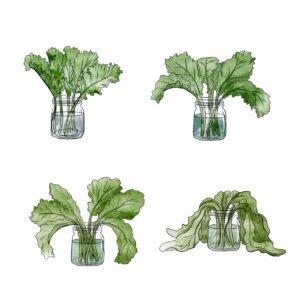 Bouquet de kale - mélika illustration