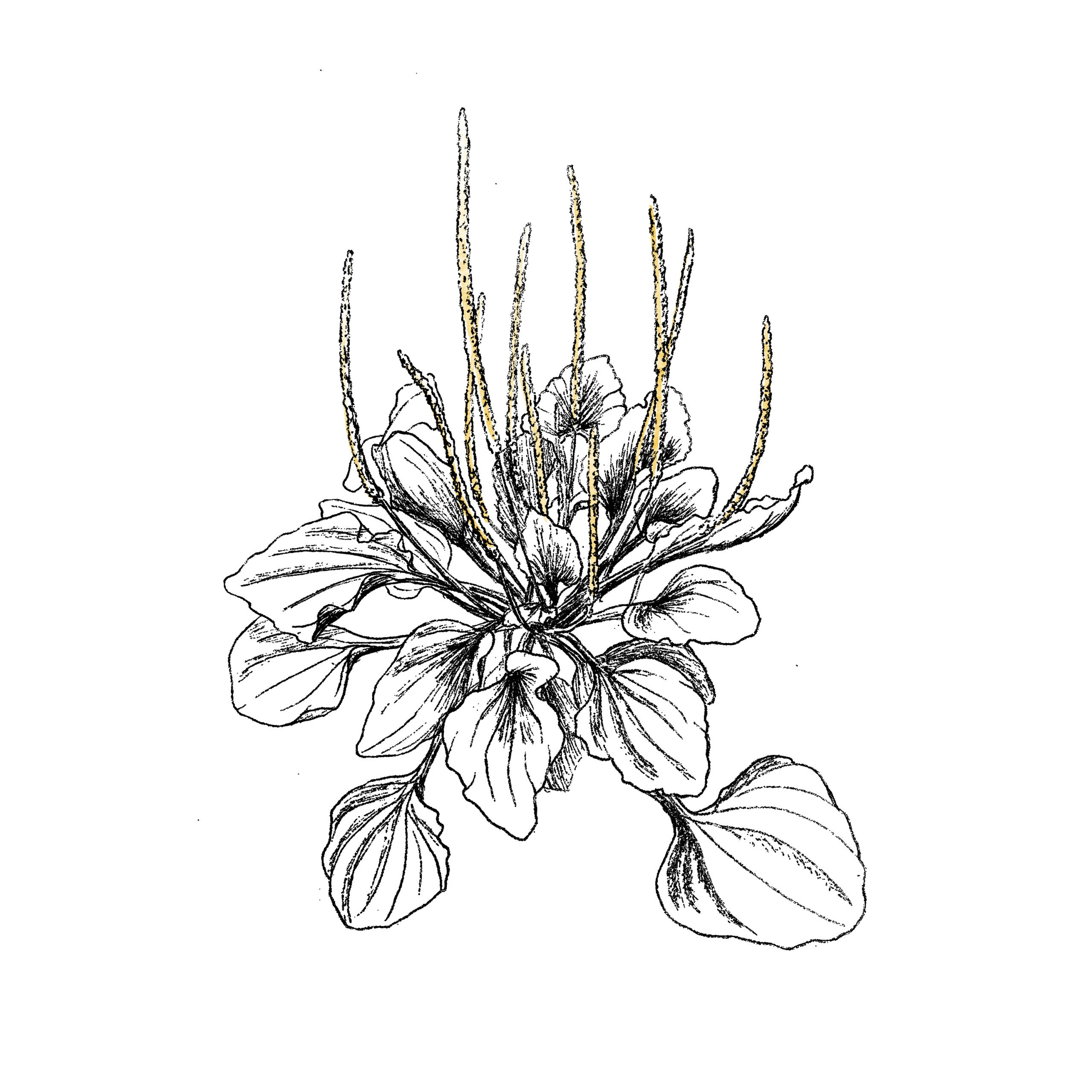 Illustration plantain