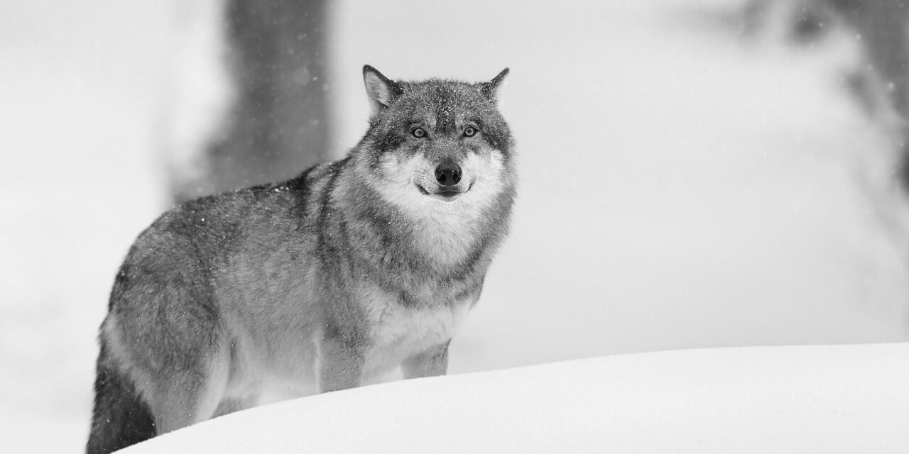 Close encounters with wolves