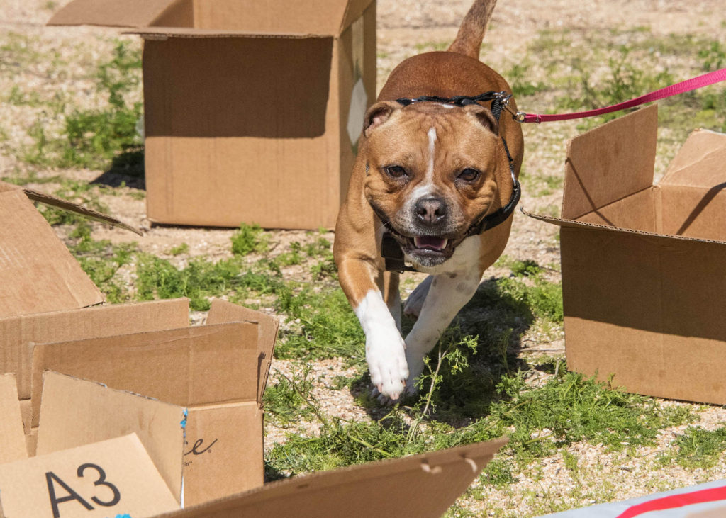 Cheeky Dog Obedience Dog Training Barn Hunt AKC Good Citizen Positive Reinforcement In Home Puppy Classes 85331 Nosework