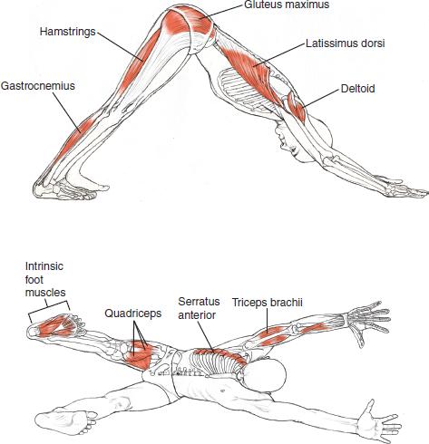 downward-facing-dog-anatomy
