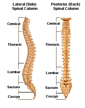 Anatomy- Yoga for a healthy spine