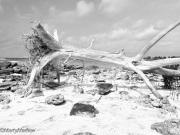 Driftwood-Bahamas