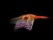 Dragon-Fly-Grape-Thief