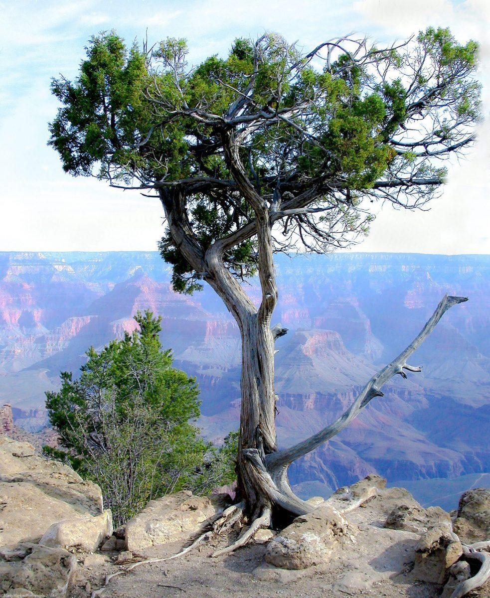 Juniper-Grand-Canyon
