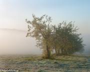 Apple-trees-in-fog