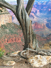 Juniper-Grand-Canyon