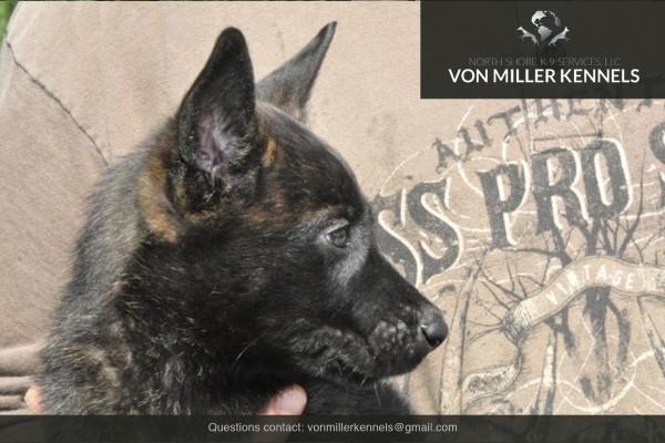 VonMillerKennels_Dutch-Shepherd-1