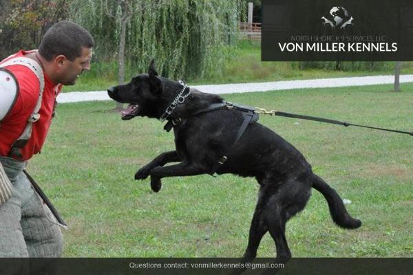 VonMillerKennels_Dutch-Shepherd-10