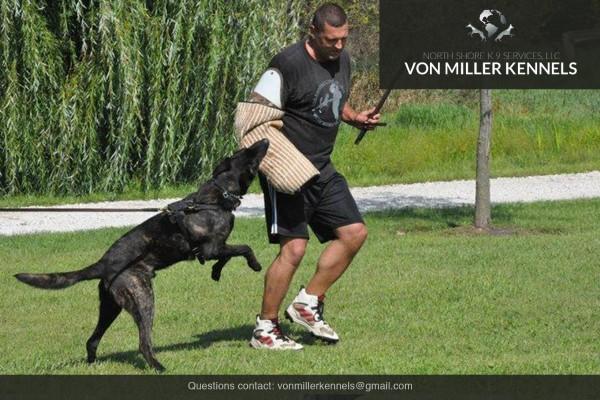 VonMillerKennels_Dutch-Shepherd-6