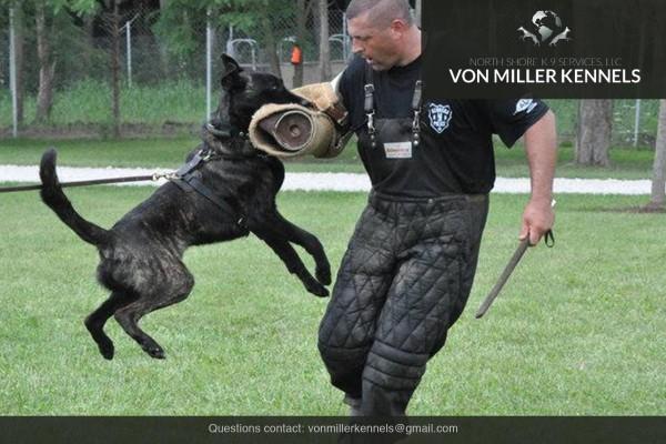 VonMillerKennels_Dutch-Shepherd-7