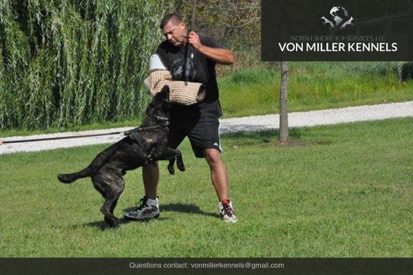 VonMillerKennels_Dutch-Shepherd-8