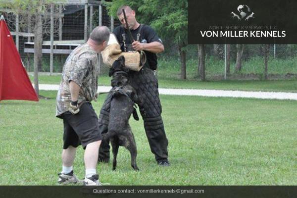 VonMillerKennels_Dutch-Shepherd-9