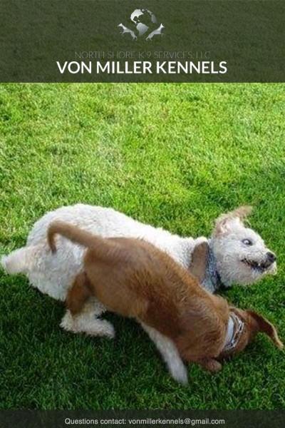 VonMillerKennels_dogsplayingaround