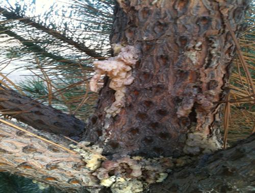 Zimmerman Pine Moth Borer Damage