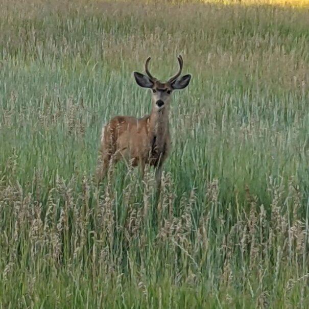 Mule deer visitor