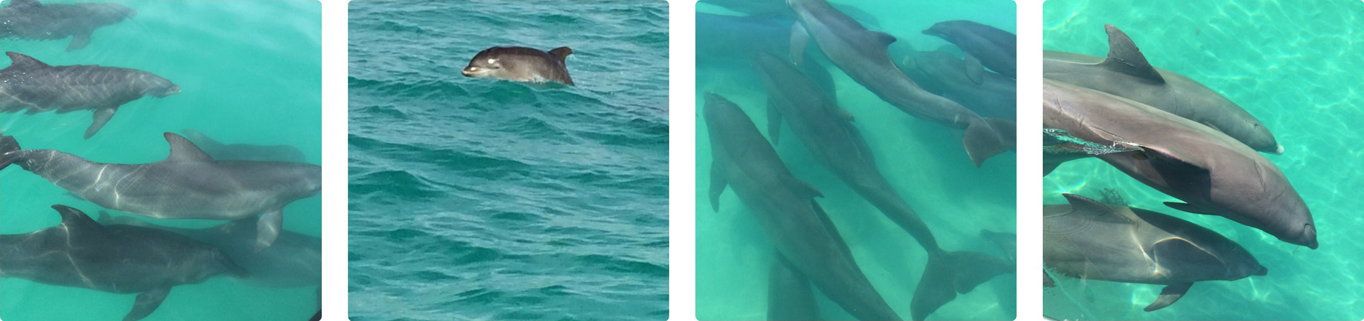 Pods of dolphins swimming in the Gulf of Mexico