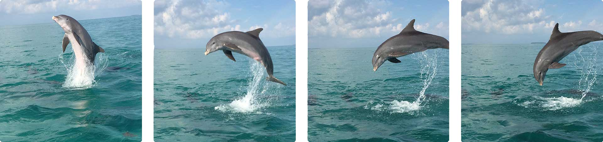 Dolphins jumping in the Gulf of Mexico