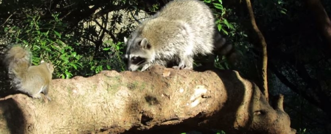 Squirrel versus Raccoon Nuisance Animals