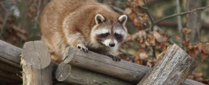 Raccoon Removal from Attic