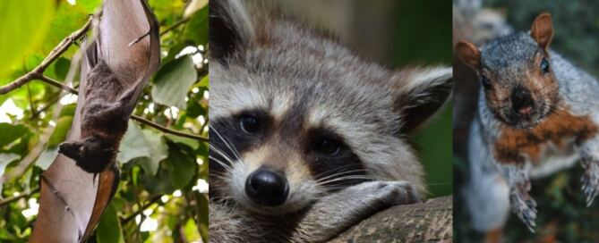 Raccoon Bat Squirrel in Attic