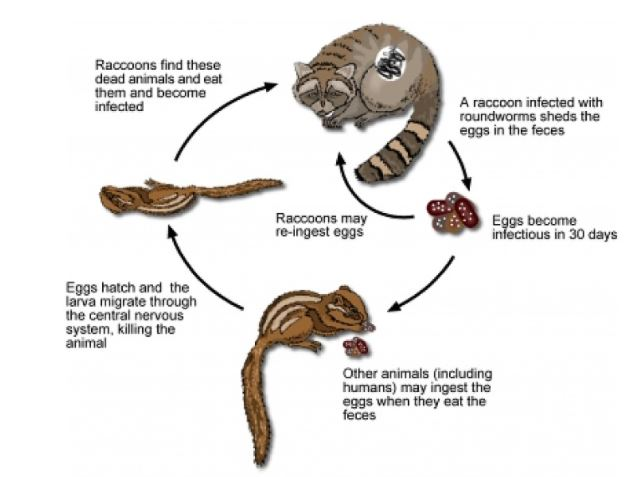 Beware of Raccoons and their Roundworms