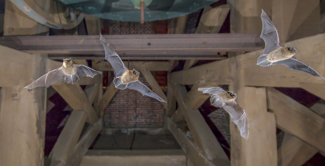 Bats in Your Attic: Dangers and How to Get Rid of Them