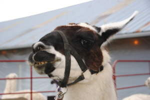 Marcia Weinert took this charming photo of a very happy alpaca.  I thought it might brighten your day.  You are welcome!