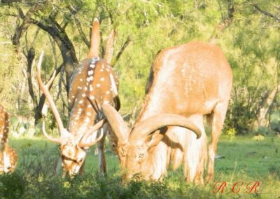 Axis and Aoudad