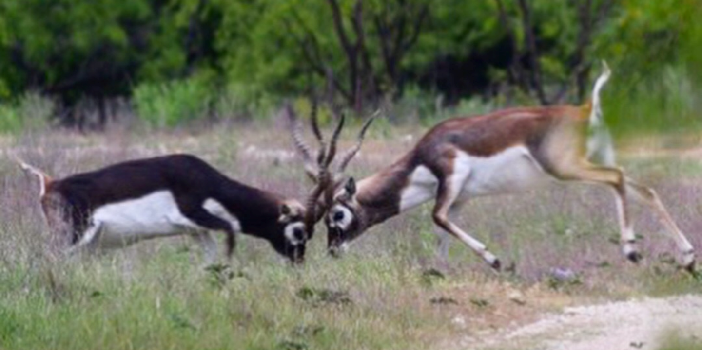 Blackbuck Antelope Fight