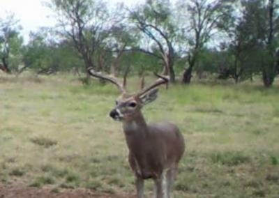 Central Texas Deer